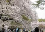 Hoa Anh Đào ở Nhật