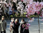 Ngắm hoa anh đào nở rộ tại Công viên Ueno ở Tokyo. (Ảnh: AFP/TTXVN)